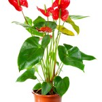 anthurium health benefits & air purification