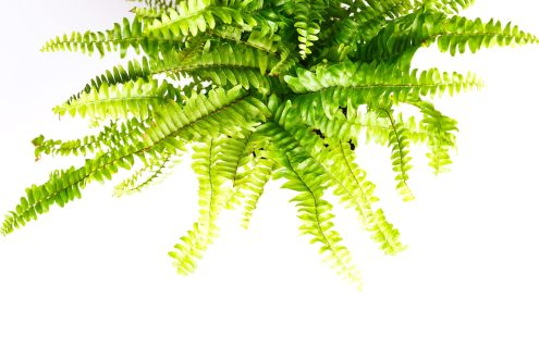 boston fern health benefits and air purification