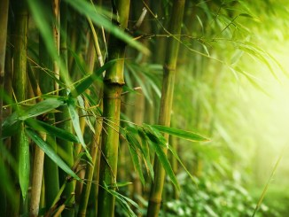 Bamboo Plant health benefits and maintainance