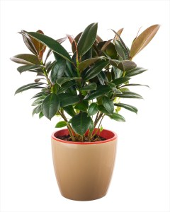 rubber plant health benefits and air purification