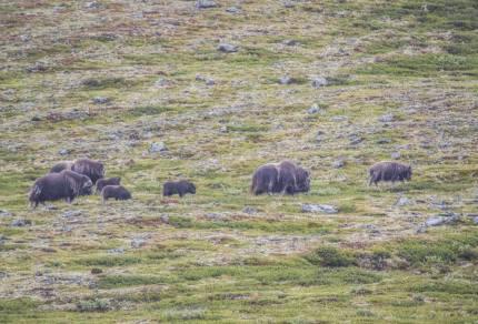 Voor op je bucketlist: op muskusos safari in Noorwegen