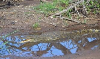 chobe-river-08-croc-1