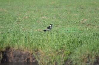 chobe-river-bird-8