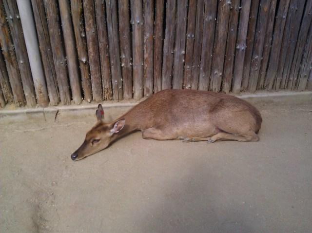 Safari Park 2011- The poor deer looks so tired