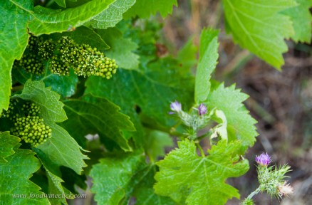Late May, the grape buds are just starting to flower