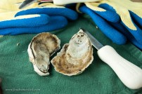 Skinny Dipper oysters from the Chesapeake Bay