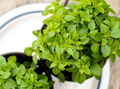 """Italians make fun of our typical large leaf basil """"No good for pesto!"""" I planted some tiny leaf basil in my garden, hoping to create something close to the real thing. We'll report on our results later this summer!"""