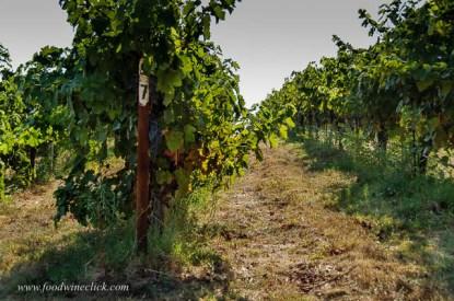 St. Laurent grapes at Mokelumne Glen Vineyards.