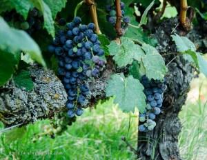 wine grapes at Mokelumne Glen Vineyards
