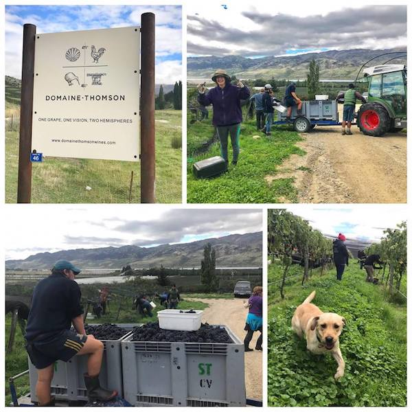 domaine thomson biodynamic vineyard harvest 2018