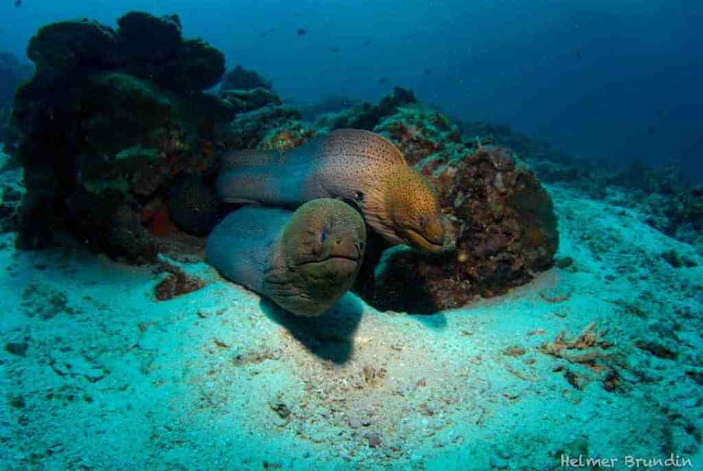 Two Moray Eels in Thailand's coral reefs