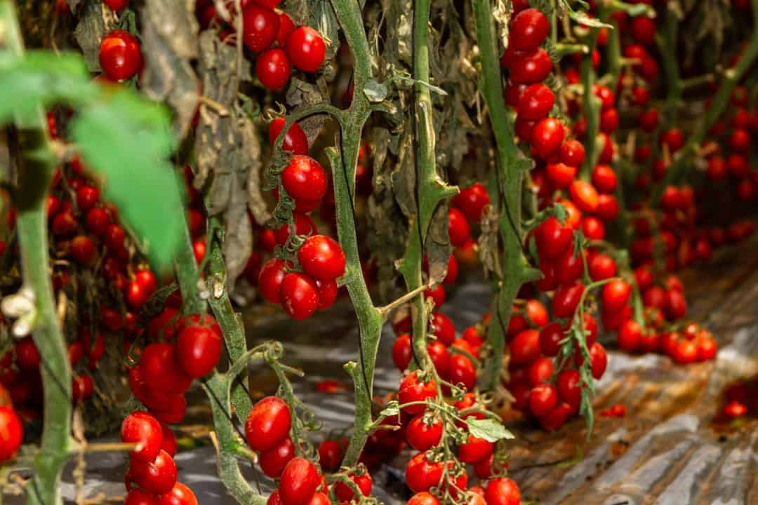 Vertically grown cherry tomatoes in Israel's Salad Trail