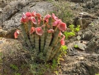 Hoodia gordonii, a medicinal plant, in flower (ai-ais - richterveld transfrontier park)
