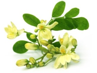 Moringa flowers with leaves on a white background.