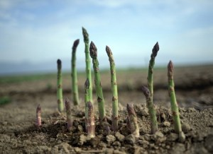 Asparagus spears. Copyright: paylessimages / 123RF Stock Photo