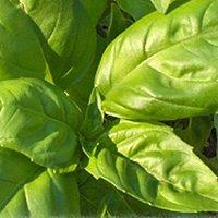 Basil leaves of the cultivar 'Sweet Genovese'.