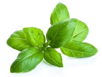 Basil leaves on a white background.