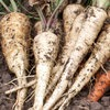 tender-true-parsnip-2913718-100x100