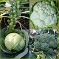 A collection of four pictures of Club Root resistant cabbages.