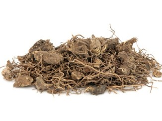 black cohosh root herb used in natural alternative herbal medicine over white background. used to treat menopausal and pre menstrual symptoms in women. actaea racemosa.