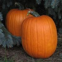 Orange pumpkins cv. Dependable