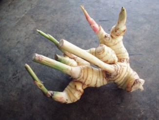 Galangal root on a grey table.