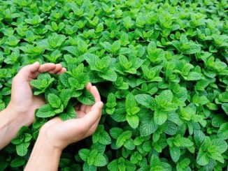 50012041 - mint plant grow at vegetable garden