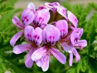 19104253 - close up of rose geranium