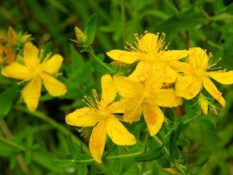St Johns Wort - bright golden-yellow flowers