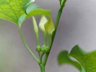 Macro photo of European Birthwort flowers (Aristolochia clematitis).