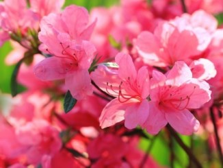 Beautiful pink rhododendron flowers