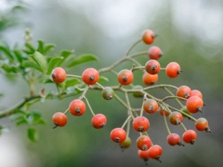 Bunch of rosehips, the fruit of the rose bush.