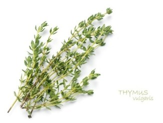 Thyme sprigs on a white background.