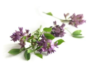 A spray of alfalfa or lucerne on a white background.