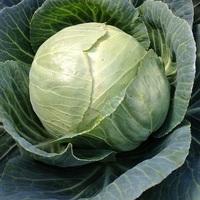 Cabbage variety, Stonehead.