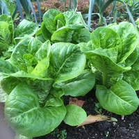 Lettuce variety, Little Gem.
