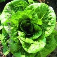 Lettuce head of cultivar Lobjoits Green.