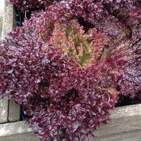 Lettuce variety Lollo Rosso.