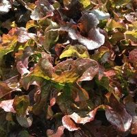 Lettuce variety Red Salad Bowl.
