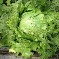 Lettuce variety Saladin. A full iceberg type.