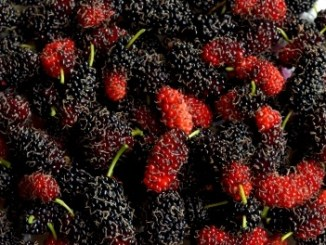 A full shot of red and black mulberries.