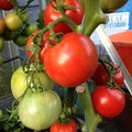 Tomato variety, Ailsa Craig