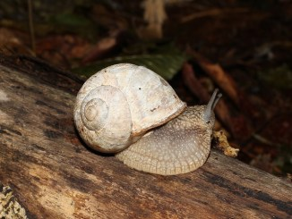 An edible snail slowly crawling along a branch.