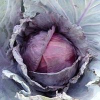 Cabbage (Lodero)