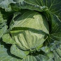 Cabbage (Spring Hero)