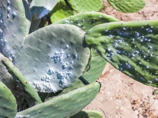 Cactus plantation to raise the cochineal, an insect from which a red pigment is extracted.
