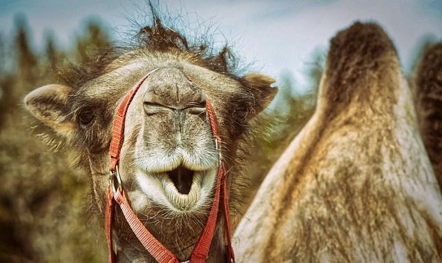 A camel/ Source of camel milk.