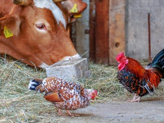 REplacing beef with chicken can reduce the risk of breast cancer