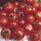 Tomato - Moneymaker