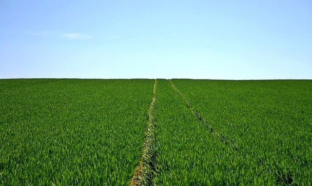 plant-based protein - a picture of cereals in a field.
